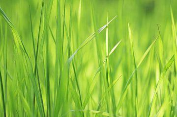 Frisches Gras im Frühling von Tanja Riedel