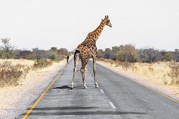 Giraffe auf Strasse sur Felix Brönnimann