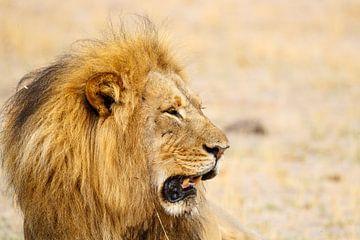 Leeuw, Hwange National Park, Zimbabwe van Marco Kost