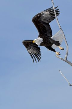 flying eagle ...  Bald Eagle *Haliaeetus leucocephalus* van