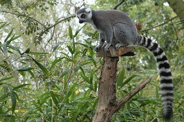 Madagaskar Maki van Sven Struik