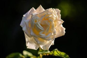 rose blanche crème sur Tania Perneel