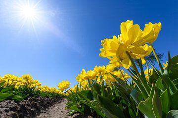 Tulipes jaunes dans un champ avec pendant une belle journée de printemps en Hollande sur Sjoerd van der Wal