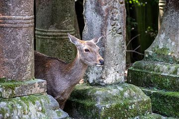 Hert tussen stenen lantaarns in Nara van Mickéle Godderis