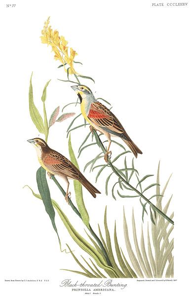 Dickcissel van Birds of America