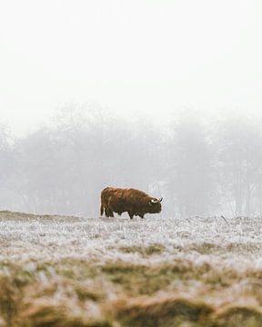 Schottische Highlander im Winter (Porträt) von Dave Adriaanse