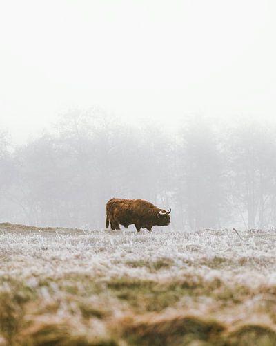 Schotse hooglander in de winter (portret)