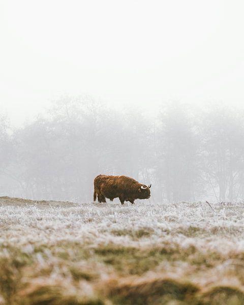 Schotse hooglander in de winter (portret) van Dave Adriaanse