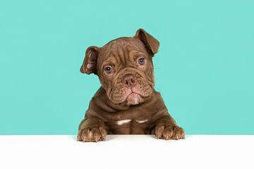 Schattige engelse bulldog pup van Elles Rijsdijk