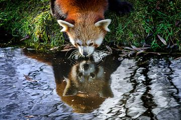 De rode panda  von AnyTiff (Tiffany Peters)