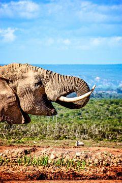 Afrikaanse olifant, Zuid-Afrika van Easycopters