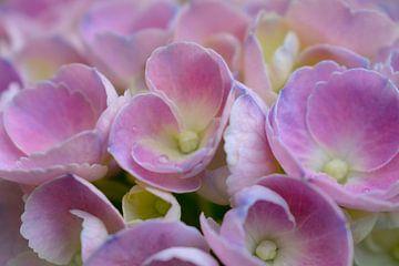 Romantische rosa Hortensie von Arjan van der Veer