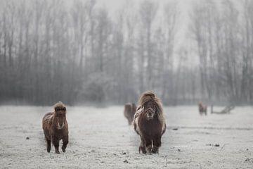 Shetlanders in de sneeuw van Jitske Cuperus-Walstra
