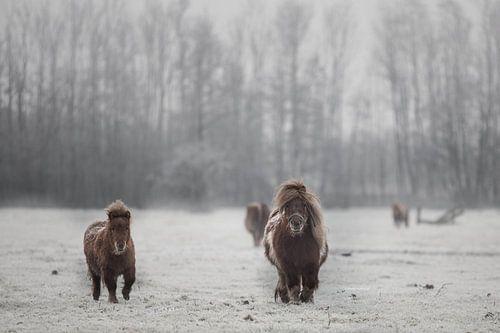 Shetlanders in de sneeuw van