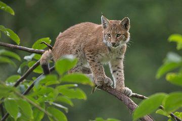 Eurasian Lynx, cute cub, kitten van wunderbare Erde