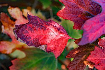 Rote Herbstfarben von