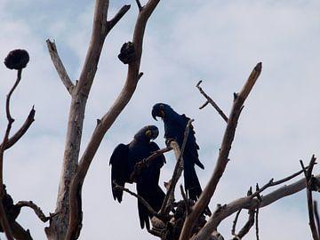 Blauwe ara's  van Roos Vogelzang