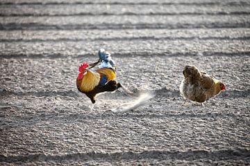 Kip en haan op zoek naar wat te eten