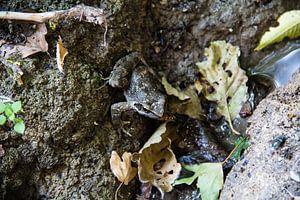 Brauner Frosch auf der Jagd