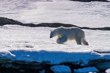 Der Eisbär wandert durch den Schnee und das Eis Spitzbergens von Merijn Loch