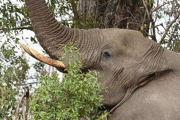 Afrikaanse olifant aan de dis. van Frank Heinen