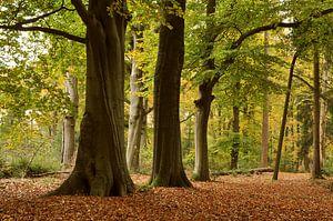 Bos landschap met beukenbomen