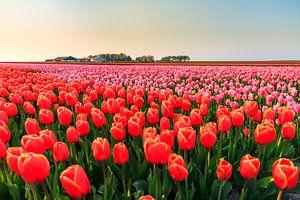 Rode en roze tulpen in de flevopolder van