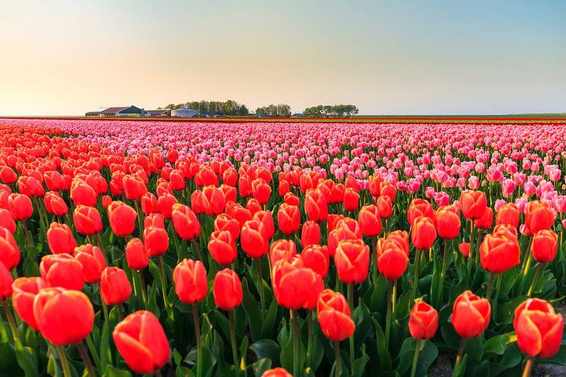 Rode en roze tulpen in de flevopolder van Dennis van de Water