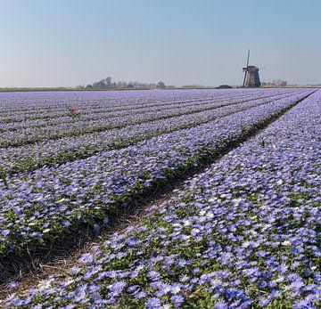 """Windmühle mit einem Blumenzwiebelnfeld voller lila Anamone Blanda, """"t Zand, Noord-Holland, Nied von"""