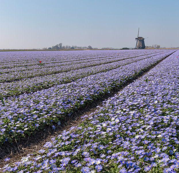"""Windmolen O-T met een bollenveld met paarse Anamone Blanda, """"t Zand, , Noord-Holland van Rene van der Meer"""