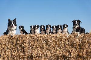 Friese Stabij hondengezin op strobaal. van Mariëtte Plat
