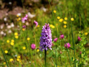Wilde Orchidee Geflecktes Knabenkraut in Wildblumenwiese von Ines Porada
