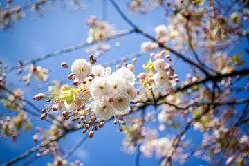 Hellrosa Kirschblüte auf einem Baumzweig vor tiefblauem Himmel von Simone Janssen