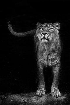 kijkt en snuffelt. Leeuwin vrouwtje is een grote roofzuchtige sterke en mooie Afrikaanse kat. Donker van Michael Semenov