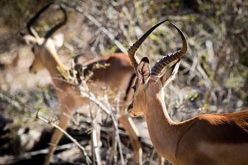 Impala's in Zuid-Afrika van Marcel Alsemgeest