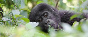 Junger Berggorilla von