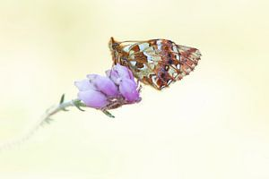 Veenbesparelmoervlinder op dopheide. van Wil Leurs