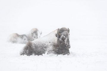 American Bisons ( Bison bison ) in winter, resting during a blizzard van