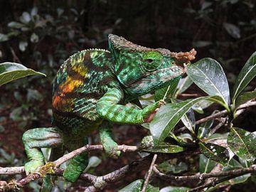 Chamäleon in Madagaskar von Els Morcus