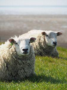 Twee schapen rusten op de zeedijk bij de Waddenzee van Helene Ketzer