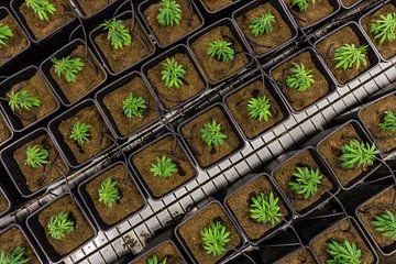 Jonge cannabisplanten van Felix Brönnimann