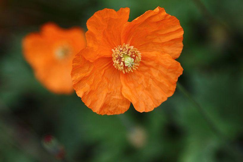 oranje klaprozen von lieve maréchal