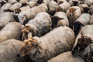 Schaf-Feile von MICHEL WETTSTEIN