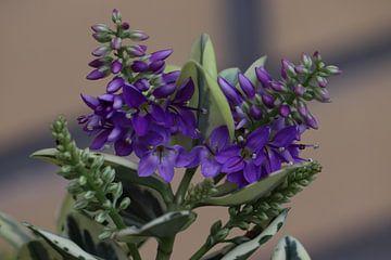 Violettes Heidekraut von Clicksby JB