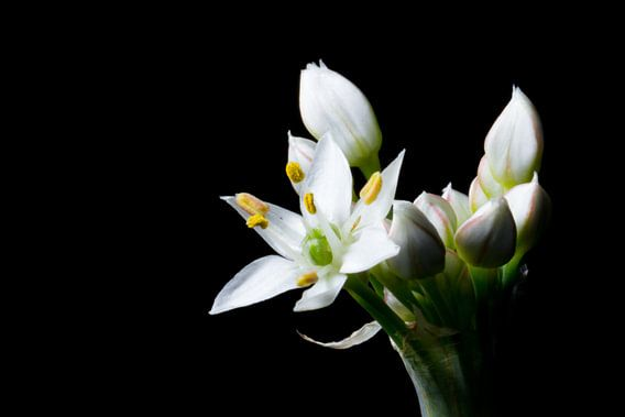 Close up van knoflook-bieslook bloem (Allium tuberosum)