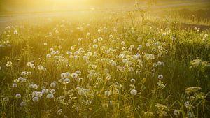 Paardenbloemen en ochtenddauw  van