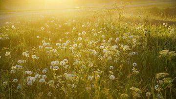 Paardenbloemen en ochtenddauw  von Dirk van Egmond