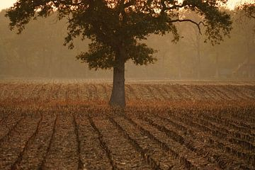 Mais van het land van Jan Nuboer