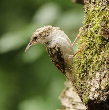 Vliegensvlugge boomkruiper, een acrobaat met vleugels von Wouter Midavaine