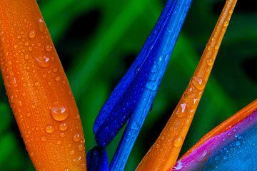 Orange und Blau 1 von Colors of the Jungle by Simon Kuyvenhoven
